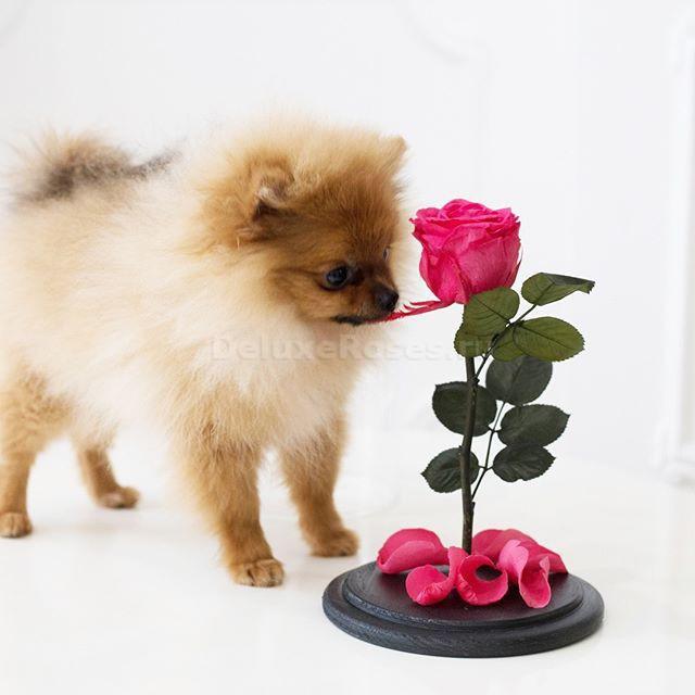 Собака и роза в колбе